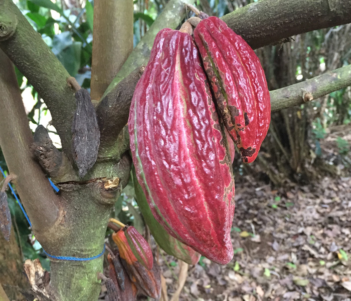 Cacao Pods in Bali